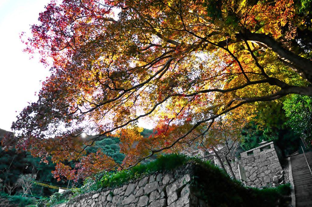 帯石観音「影迎の楓」紅葉